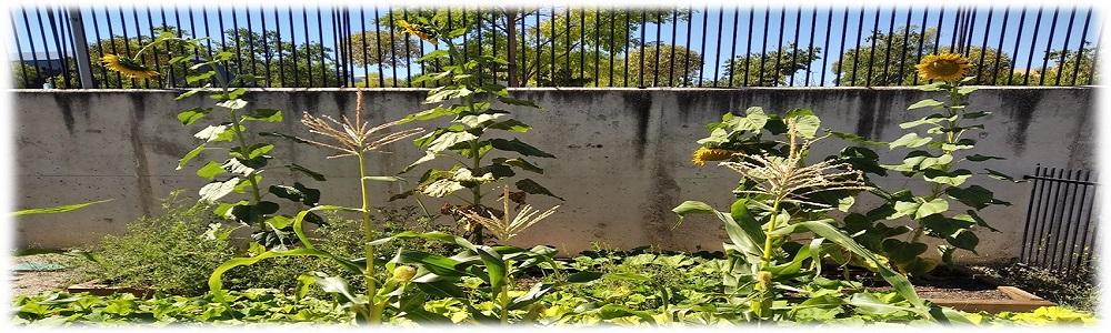 Extracción de semillas [Girasoles, judías y maíz]
